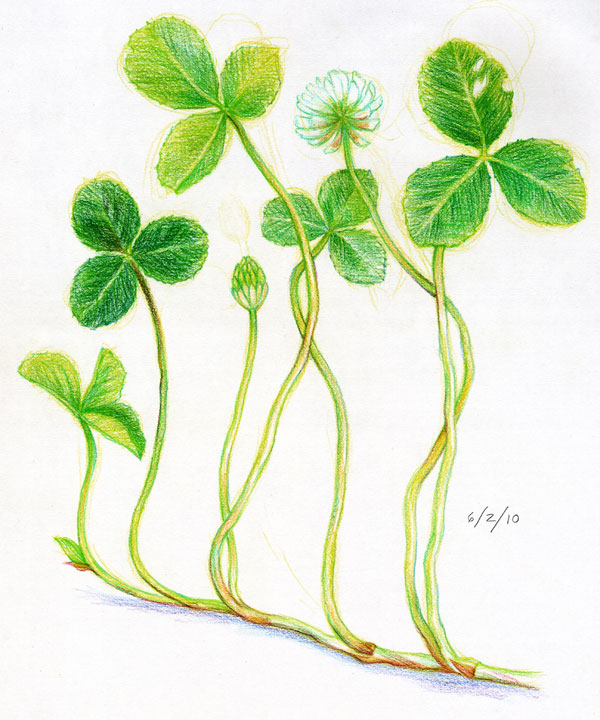 White Clover Drawing Clover