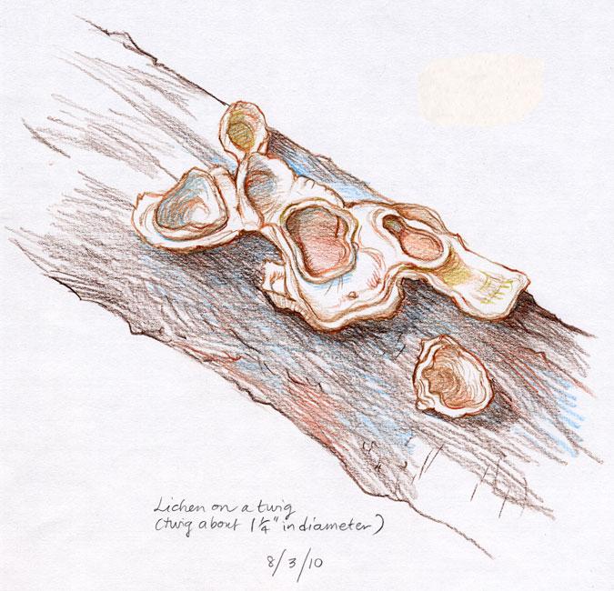 LichenTwig